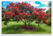 1st Dec 2020 - New   Zealand Christmas tree. Pohutukawa..