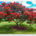 New   Zealand Christmas tree. Pohutukawa..