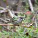 Shining Bronze Cuckoo by glendamg