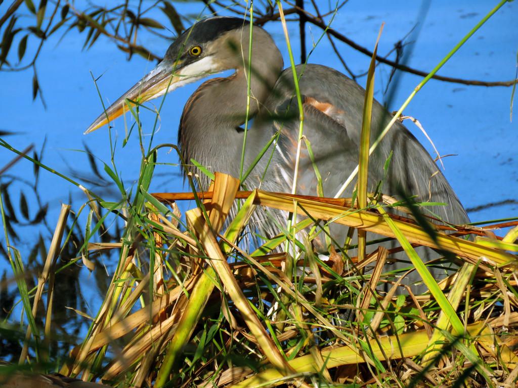 Shoreline Blue Heron by seattlite