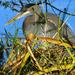 Shoreline Blue Heron