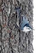 30th Nov 2020 - White-breasted Nuthatch