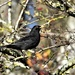 Lovely blackbird