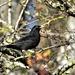 Lovely blackbird by rosiekind