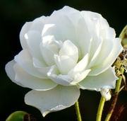 1st Dec 2020 - White Rose