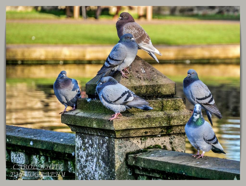 Chilly Pigeons by carolmw