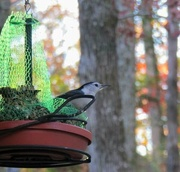 22nd Nov 2020 - Keeping The Birds Fed In Winter Months