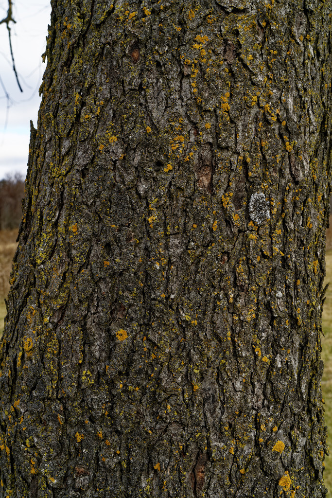 black maple bark by rminer