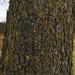 black maple bark