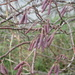 colourful catkins