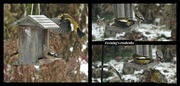 1st Dec 2020 - Evening Grosbeak collage
