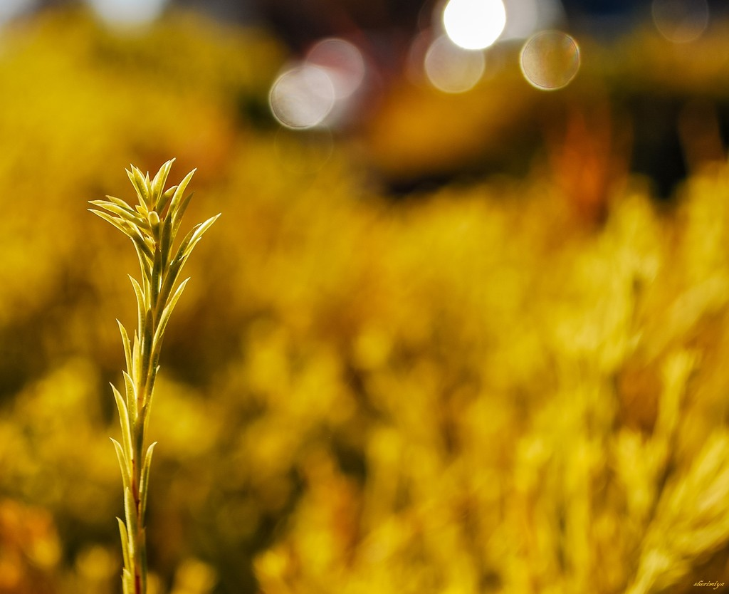 Golden by sherimiya