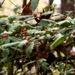 Wild American Holly (Ilex opaca)...