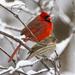 Beautiful Cardinal with a Friend by cwbill