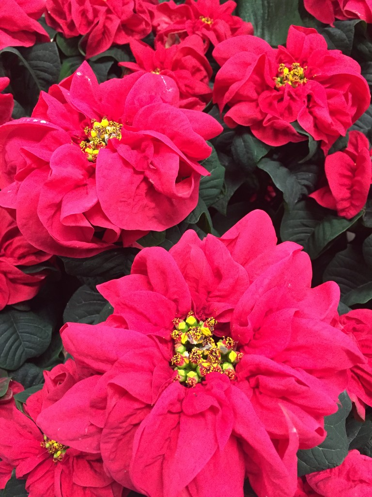 Winter rose poinsettia  by kchuk