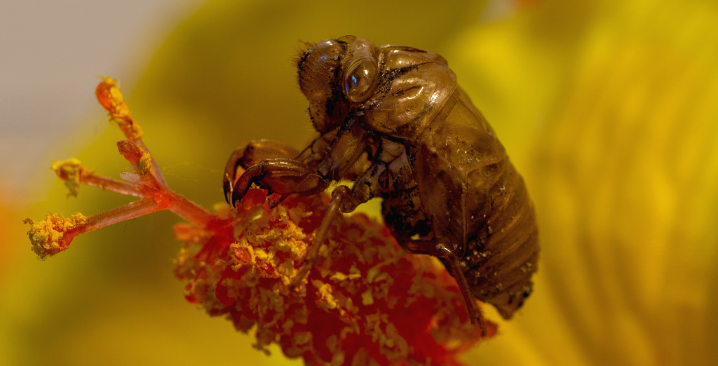 Cicada on the Flower!   by rickster549
