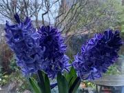 30th Nov 2020 - Hyacinths