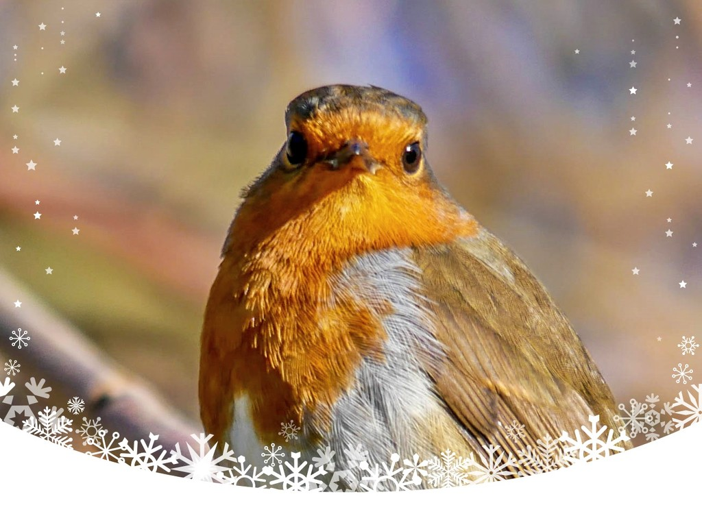 Christmas Robin by carolmw