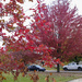 Leave 14 - Fall 2020 Peak Red on our street