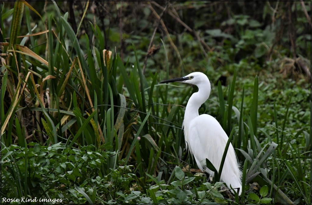 It was nice to see the egret too by rosiekind