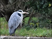 2nd Dec 2020 - And we saw a heron