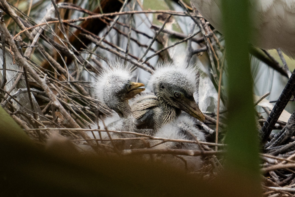 chicks by sugarmuser