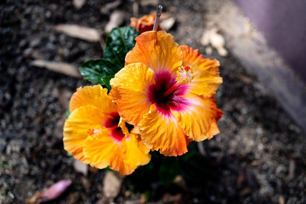 Hibiscus  by sugarmuser