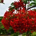 Beautiful Poinciana Flowers ~