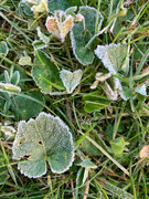 3rd Dec 2020 - Frozen heart leaf.