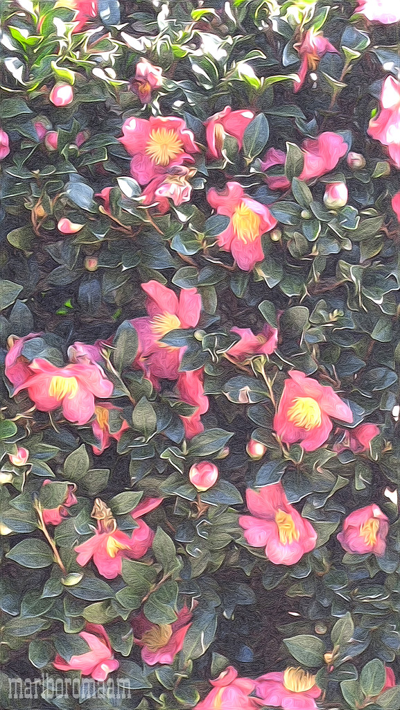 Painted camellias from the Zaxby's drive-thru... by marlboromaam