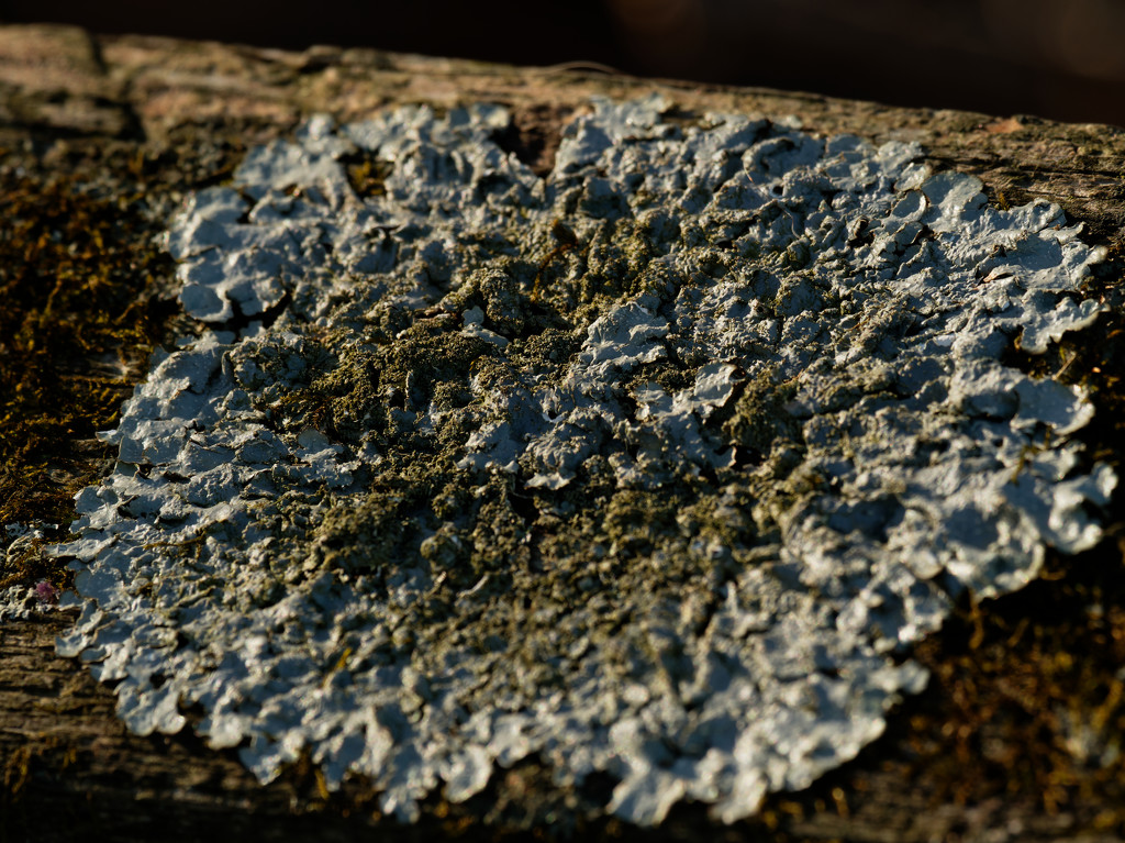 rough speckled shield lichen by rminer