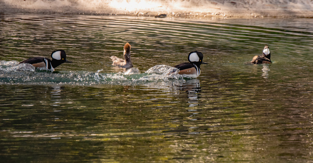 Hooded Merganser's! by rickster549