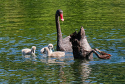 3rd Dec 2020 - Black swan family - lunch time