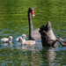 Black swan family - lunch time
