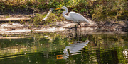 2nd Dec 2020 - Egret on the Prowl!