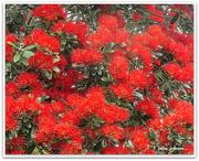 3rd Dec 2020 - Pohutukawa.. NZ Christmas Tree..