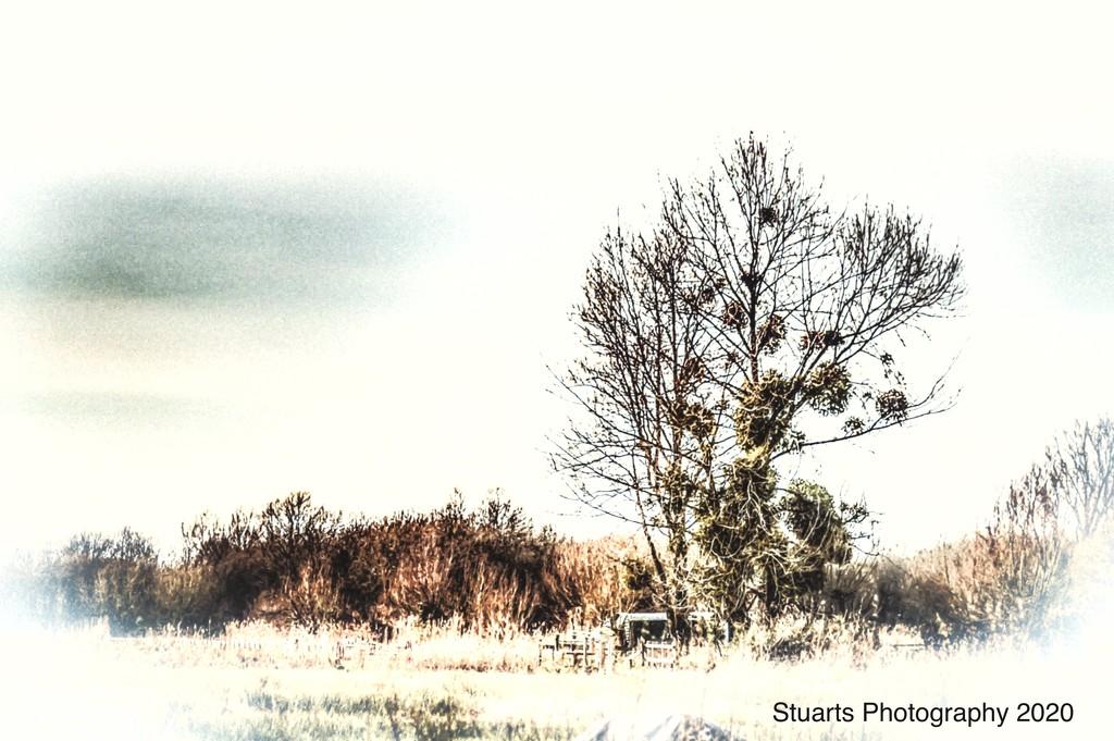 Mistletoe in trees  by stuart46