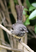 3rd Dec 2020 - Young fantail