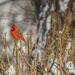 Mr. Cardinal by pej2