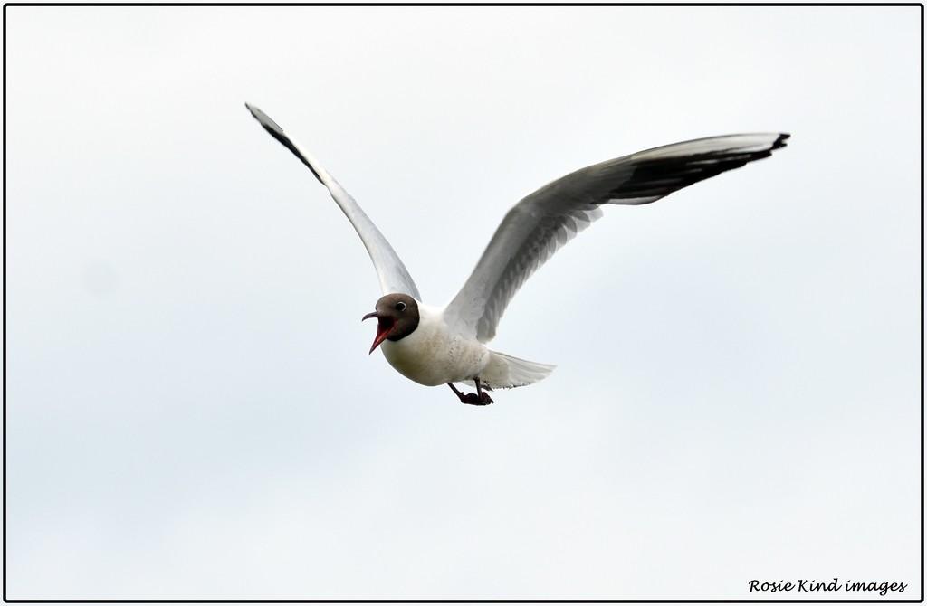 Noisy gull by rosiekind