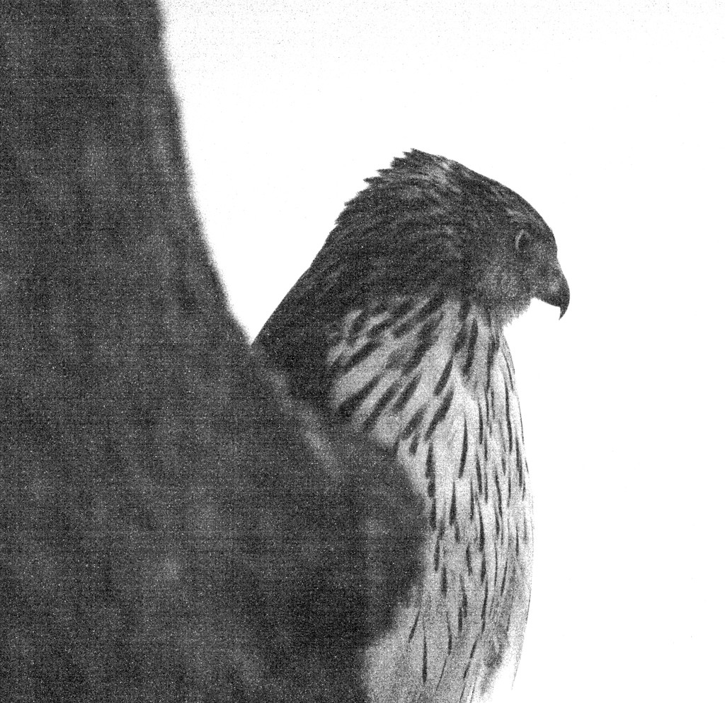 The Hawk was back yesterday afternoon by bruni