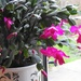 Christmas Cactus Looking Good