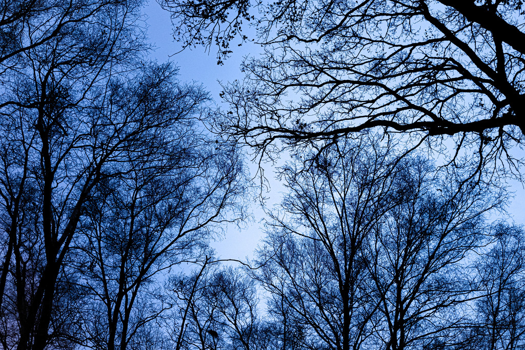 Looking up in the forest at Blue Hour by vignouse
