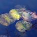 Off Season Water Lilies
