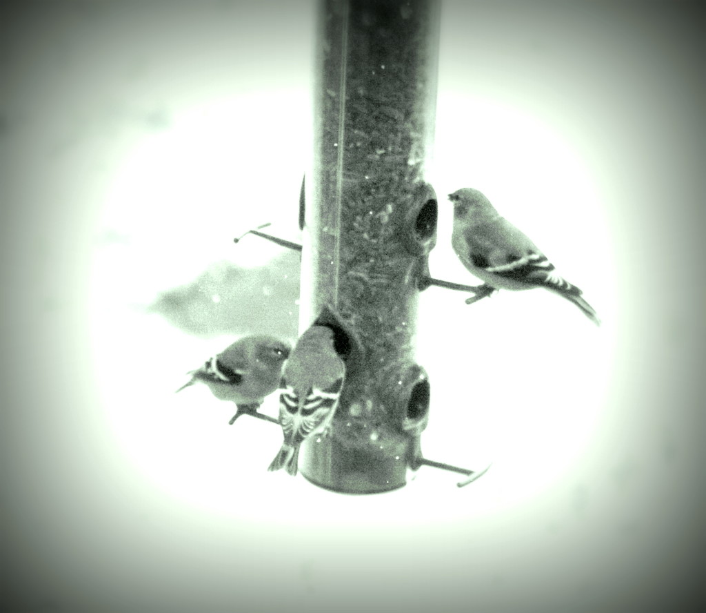 Can't believe the finches staying overwinter by bruni