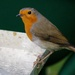 FOURTH DECEMBER ROBIN