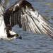 Osprey in flight  by dutchothotmailcom