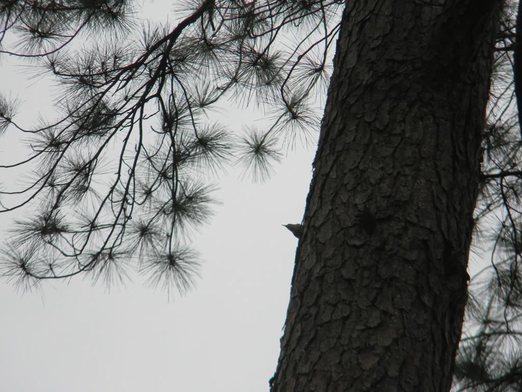 Bird on Pine Tree by sfeldphotos