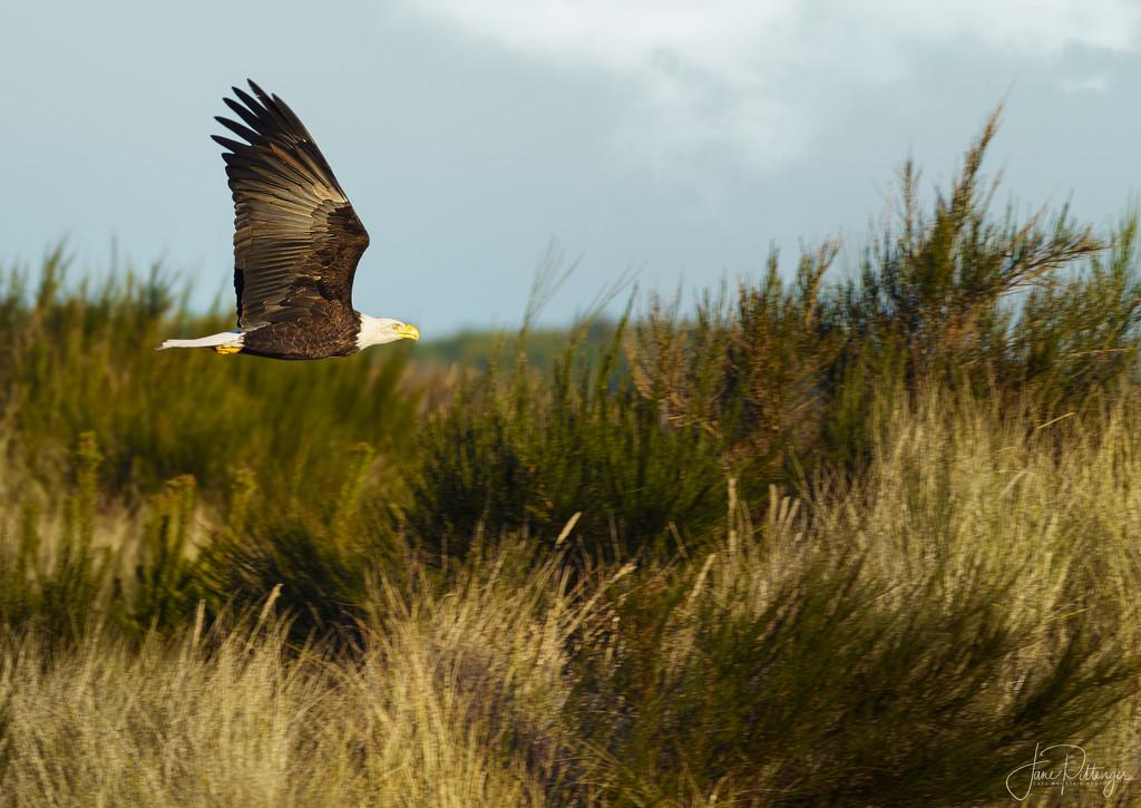 Bald Eagle Flying  by jgpittenger