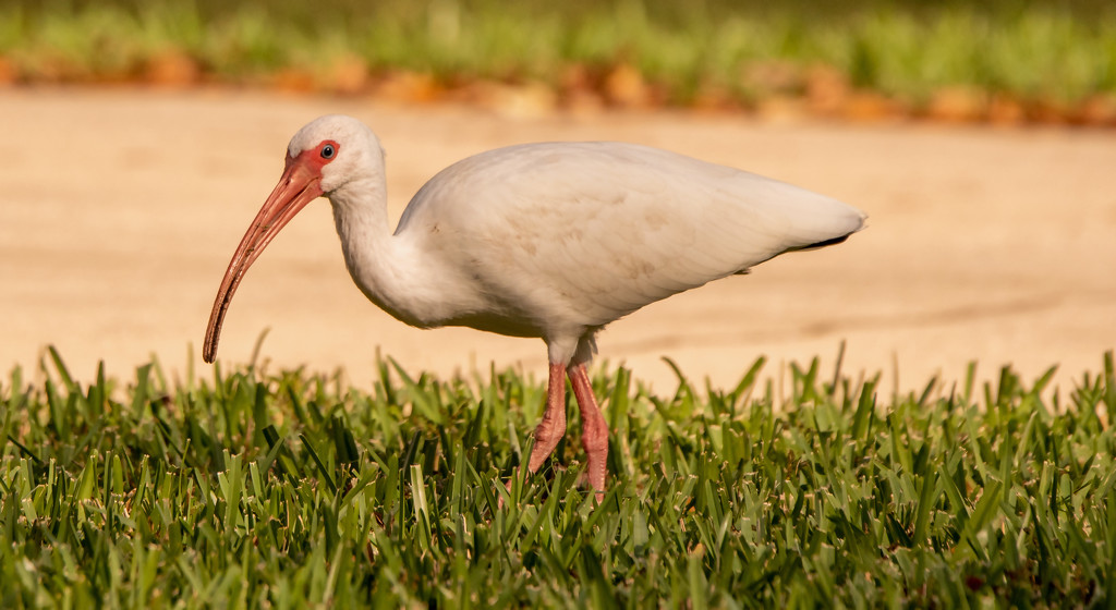 One More Ibis! by rickster549
